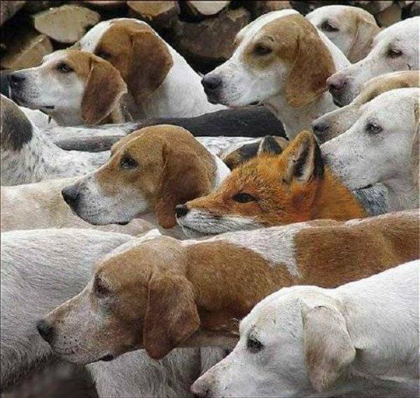 fox-and-hounds.jpg
